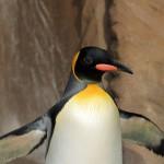 東山動物園でオウサマペンギンがめっちゃかわいかった♪